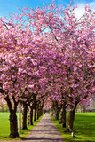 Walk path surrounded with blossoming plum trees Royalty Free Stock Photo