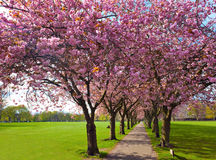 Walk path surrounded with blossoming plum trees Royalty Free Stock Image