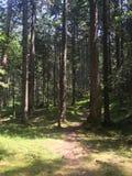Walk path thru pines. Pine forest sunshine nature Royalty Free Stock Photos