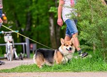 Walk with Pembroke Welsh Corgi dog. In spring park stock photography