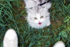 White beautiful female cat walking on green grass with her owner Stock Photography
