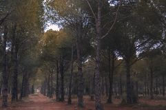 A walk in the pine forest in Antalya stock image