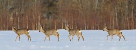 Walk in a row. Roebuck panorama in winter sun Stock Photo