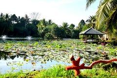 Lotus pond. Walk to lotus lake Beside a hotel in Phuket, fresh morning air Royalty Free Stock Image