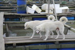 Walk Together With Me. Were buddies for life. Mongrel dogs on a Kukup Kelong, Malaysia Stock Image