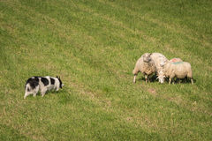 Walk Up of Herding Dog to Group of Sheep (Ovis aries) Royalty Free Stock Images