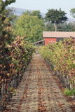 A Walk in the Vineyards. Walking amongst the Sonoma, California vineyards Royalty Free Stock Photos