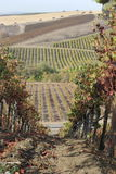 A Walk in the Vineyards. Walking amongst the Sonoma, California vineyards Stock Photo