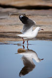 Walk on water. Seagull about to take flight from rockpool, with reflection Stock Image
