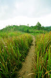 Walk way with high  grass Royalty Free Stock Photography