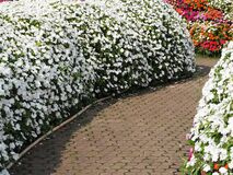Free Walk Way In Field Of Impatiens Walleriana Flowers Called Balsam, Flowerbed Of Blossoms In Pink,white And Red Impatiens Walleriana Stock Images - 175382104