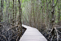 Walk way in mangrove forest, other name is inter tidal forest.  Stock Photo