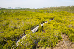 Walk way in mangrove forest Stock Images