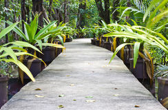 Walk way in mangrove forests. Stock Photography