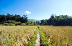 Walk way in middle the rice field Stock Images