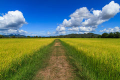 Walk way in middle the rice field Royalty Free Stock Image