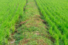 Walk way and rice farm. Day time Stock Photo