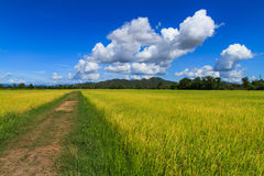 Walk way in side the rice field Royalty Free Stock Image