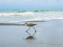 Walk_of_the_willet_2 Royalty Free Stock Photography