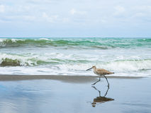 Walk_of_the_willet Stock Photos