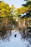 Walk through the winter, pine forest stock images
