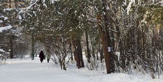 A walk in the winter snowy woods Royalty Free Stock Image