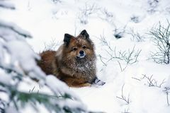Walk in winter woods with the dog. A walk in the winter woods with the dog, breed German Spitz closeup otlichaet in the snow Royalty Free Stock Images