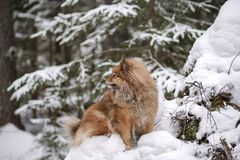Walk in winter woods with the dog. A walk in the winter woods with the dog, breed German Spitz closeup otlichaet in the snow Royalty Free Stock Photo