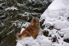 Walk in winter woods with the dog. A walk in the winter woods with the dog, breed German Spitz closeup otlichaet in the snow Stock Photos