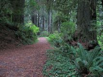 Walk in the woods. Inviting pathway through the Redwood forest Stock Images