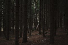 Dark pine forest. Walk in the woods opens different finds stock photos
