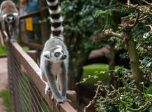 Walkabout lemurs. A young ringtailed lemur walks along the top of a wooden fence Royalty Free Stock Photography