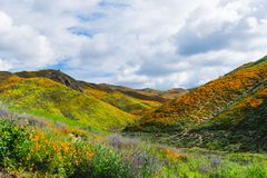 Walker Canyon in Lake Elsinore California during the superbloom of poppies wildflowers.  royalty free stock image