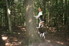 Walker coon hound baying at tree. A pair of walker coon hound has a raccoon in a tree and barks lively waiting for hunter to arrive Royalty Free Stock Images
