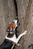 Walker coon hound Stock Images