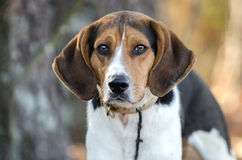 Walker Coonhound Dog Lizenzfreies Stockfoto
