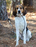 Walker Coonhound Dog. Tennessee Treeing Walker Coon hound hunting dog, outdoor pet photography for Walton County Animal Control Shelter, Georgia, Humane society Stock Photos