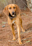 Walker Hound Foxhound mixed breed dog. Walker Hound mixed breed dog, outdoor pet photography, humane society adoption photo, Walton County Animal Shelter Royalty Free Stock Images