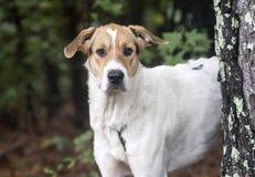 Walker Hound mezcló el perro de la raza Imagenes de archivo