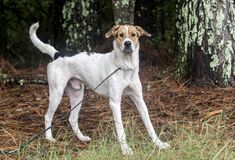Walker Hound mixed breed dog Royalty Free Stock Photos