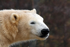 Walker the Polar Bear Royalty Free Stock Photos