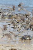 Walki lub lota Semipalmated Sandpipers i Tarłowi podkowa kraby na Delaware zatoki plaży obrazy royalty free