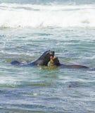 walki lwów oceanu morza fala Obraz Stock