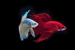 WALKI ryba Zdjęcia Stock