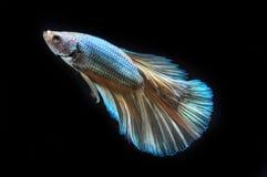 WALKI ryba Obrazy Stock