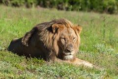 walki trawy lwa lying on the beach tydzień raniącym był Obrazy Stock