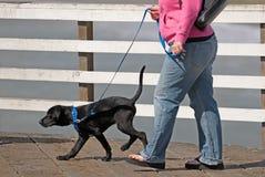Walkin el perrito Imágenes de archivo libres de regalías
