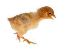 Walkin isolated small yellow chicken Stock Image