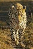 Portrait of a leopard Stock Photos