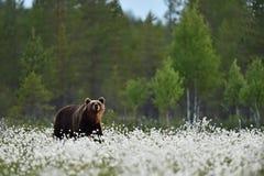 Walkinf d'ours de Brown dans l'herbe de coton de floraison Images libres de droits